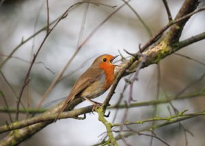 The Robin's Song